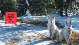 Wink and her brother Ambler wait patiently for their teammates to return from a sled run