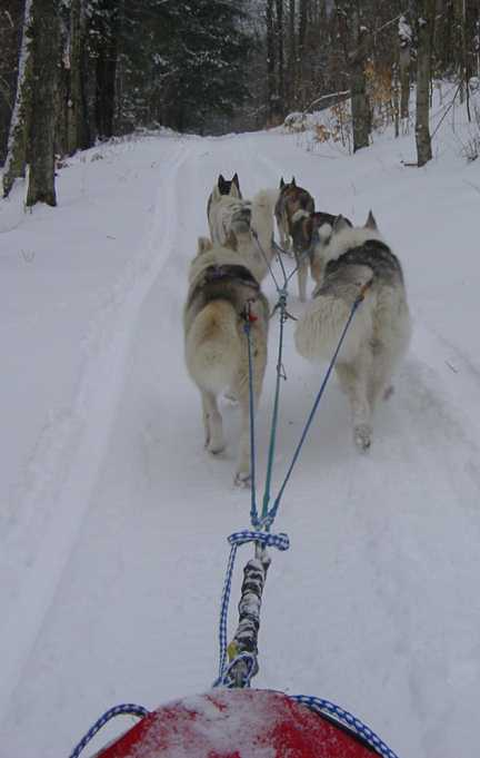 Pulling hard up the trail. Sleddog team in action